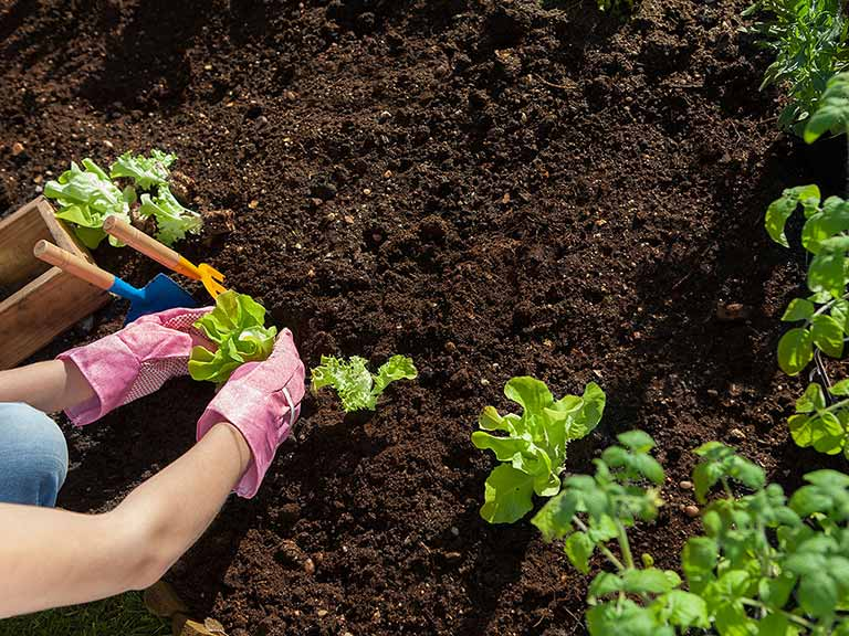 Add fertilizer pellets into your soil when transplanting