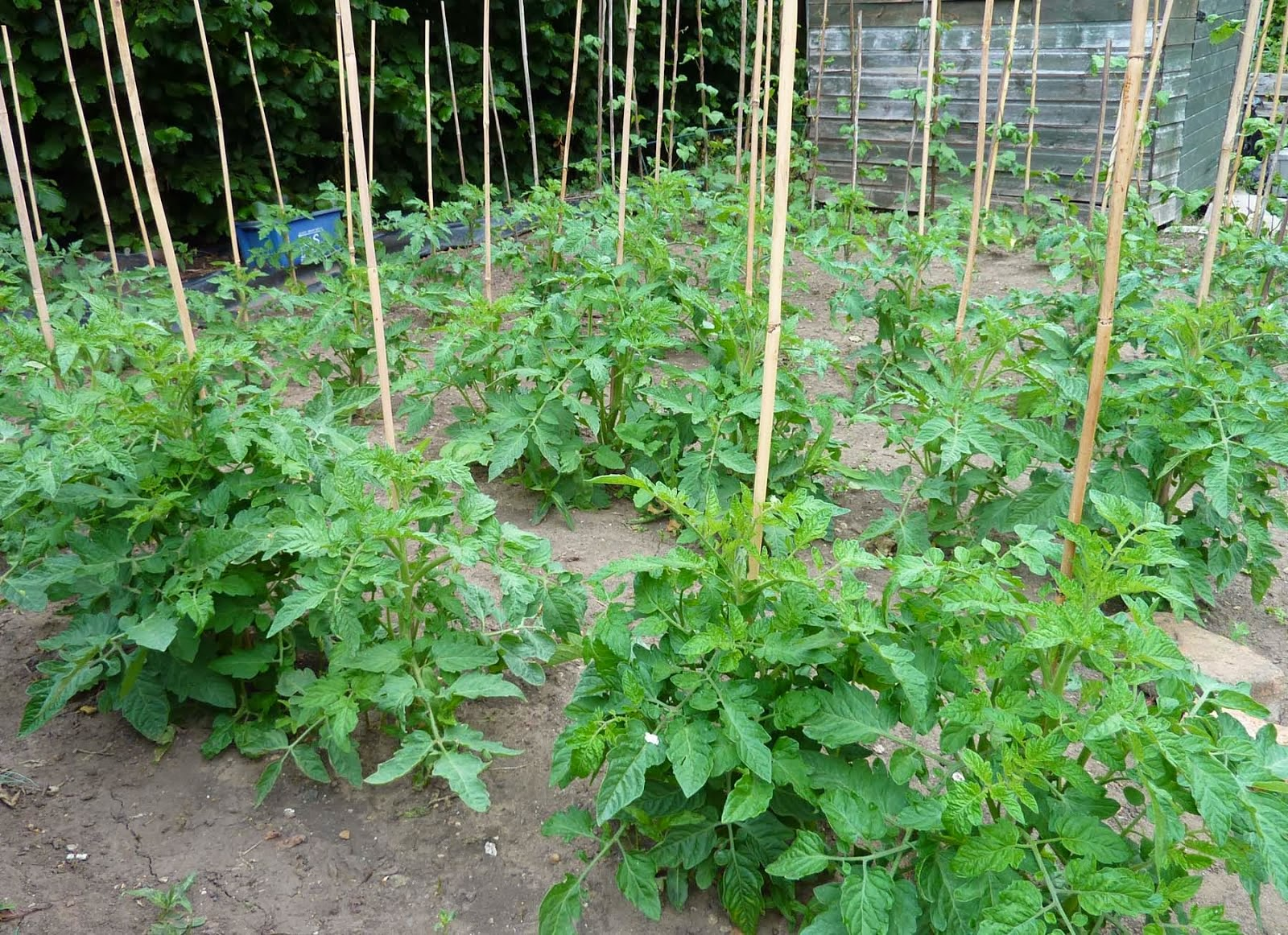 Plant your tomato as deeply as possible