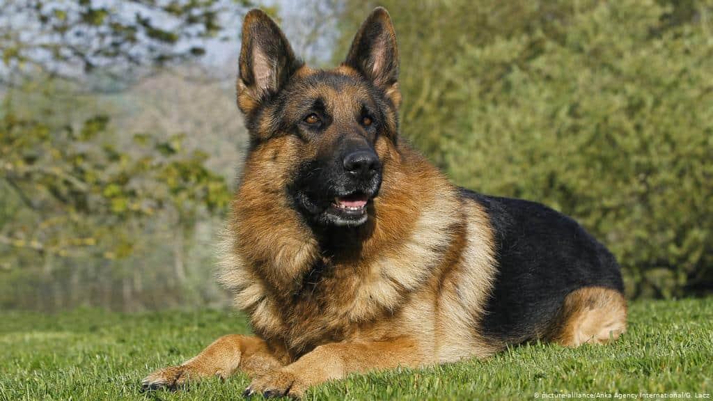 Servis Köpeği