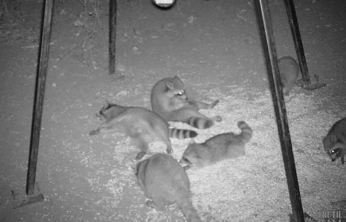 Raccoon Night Out