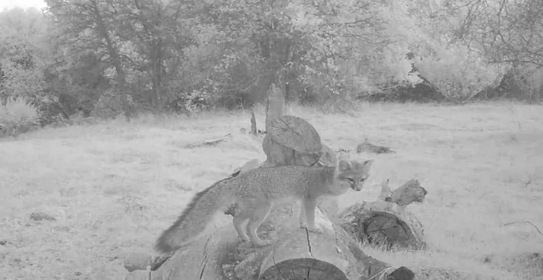 A Grey, Grey Fox